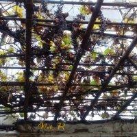 виноград в ноябре :: maxim