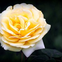 свет и цвет розы :: Олег Лукьянов
