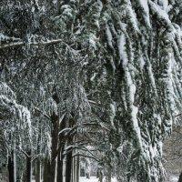 Снежные ветви :: Aleksandr Papkov