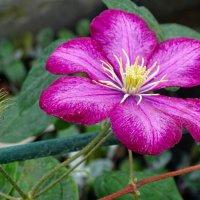 Городские цветы (клематис) :: Милешкин Владимир Алексеевич