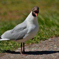 чайка :: linnud