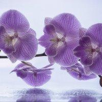 Ветка цветущей орхидеи :: Ирина Приходько