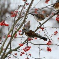 рябинники :: linnud