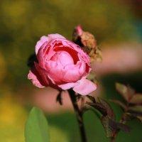 Цветочек в сентябре :: Алёна Гершфельд