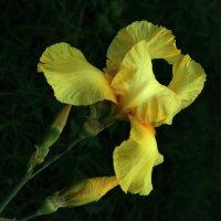Желтый ирис. Yellow iris. :: Юрий Воронов