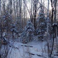 Зимний лес :: Светлана Бурлина