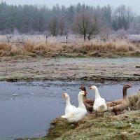 Гуси, уточки, пейзаж. :: Антонина Гугаева