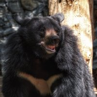 Гималайский медведь :: Владимир Шадрин