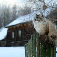 А что за деревня без кота на заборе? :: Алёна Гершфельд