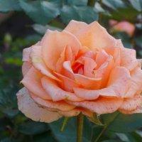 Поздняя роза... :: Тамара (st.tamara)