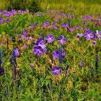 Цветущая поляна :: Сергей Чиняев