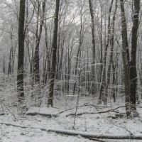 снег в лесу :: Геннадий Свистов