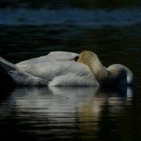 Спящий лебедь :: Павел Руденко