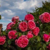 « Там, где сердце, там розовый куст Расцветает на каждом шагу,…» :: Андрей Нибылица