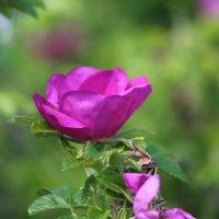Шиповник цветет :: Алёна Гершфельд