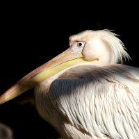 Розовый пеликан :: Владимир Шадрин