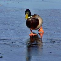 по тонкому льду :: linnud
