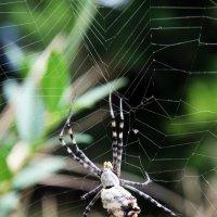 Паук на паутине. :: Инна Козырина