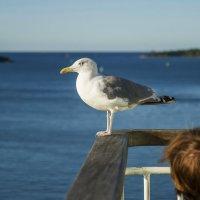 Балтийская чайка :: leo yagonen