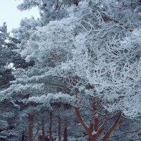 Зимний лес, в серебряном одеянии :: Николай Белавин