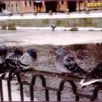 Питерские голуби :: Vladimir Semenchukov