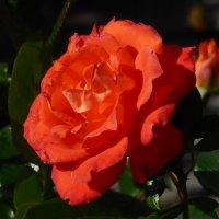 Розы...розы... :: Вячеслав Медведев