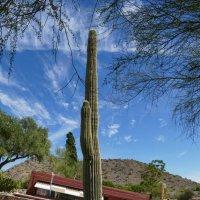 Вот такой кактус у школы-студии архитектора Райта (Аризона) :: Юрий Поляков