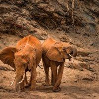 Слоны, добывающие воду, во время засухи :: Ольга Петруша