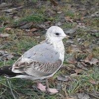 Молодая серебристая чайка :: Маргарита Батырева