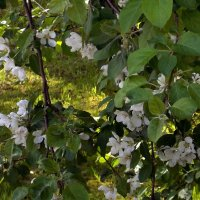 Яблоня во дворе :: Фотогруппа Весна.
