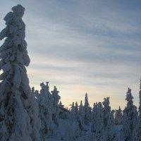 Удивительные ели растут в Лапландии :: Елена Павлова (Смолова)