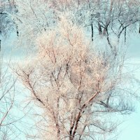 зимняя сакура сибири :: Евгений Фролов