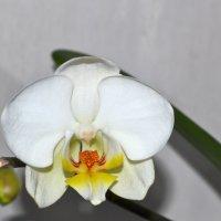 Орхидейка :: Алёнка М.