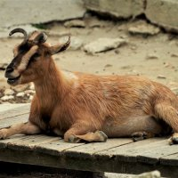 Камерунская коза :: Swetlana V