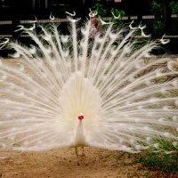 Павлин на птичьей площадке :: Нина Бутко