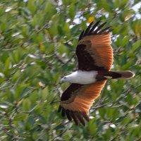 Красно-коричневый орёл - символ острова Лангкави, Малайзия. :: Edward J.Berelet