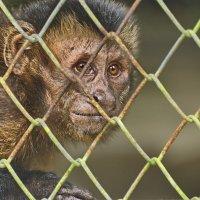 Capuchin monkey   Перу. Амазония. Зоопарк Икитос. :: Svetlana Plasentsiia