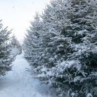 Зимний елочный пролесок :: Anna Chepkova