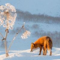 Снежный одуванчик :: Денис Будьков