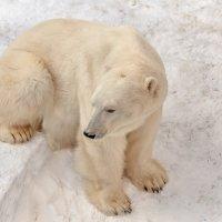 Белый медведь :: олег