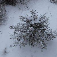 Не в лесу родилась елочка :: Андрей Лукьянов