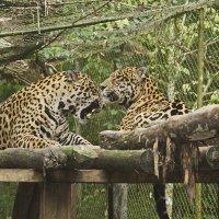 Леопард :: Svetlana Plasentsiia
