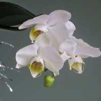 Зацвела моя орхидея :: Татьяна Смоляниченко