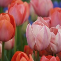 Тюльпаны :: saslanbek isaev