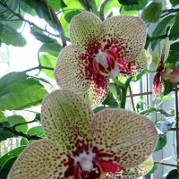 Орхидея :: ivolga