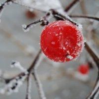 Калина зимой :: Дарья Лаврухина
