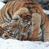 Амурские тигры :: Владимир Шадрин