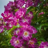 Вот такие розы.. :: Андрей Нибылица