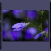 В фиолетовых тонах :: shvlad