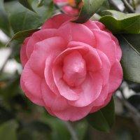 Роза :: saslanbek isaev